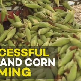 Successful Rice and Corn farming in the Philippines